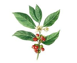 coffea_robusta